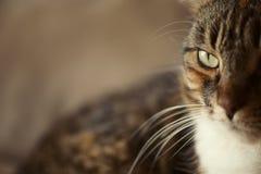 Πλάγια όψη ματιών γατών Στοκ Εικόνες