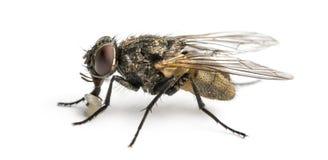 Πλάγια όψη μιας βρώμικης κοινής μύγας με την προνύμφη, domestica Musca στοκ φωτογραφία