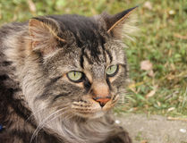 Πλάγια όψη της εσωτερικής μέσης μαλλιαρής τιγρέ γάτας Στοκ εικόνες με δικαίωμα ελεύθερης χρήσης