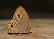 Πλάγια όψη της καφετιάς πεταλούδας (perseus Mycalesis) που στέκεται και Στοκ Εικόνες