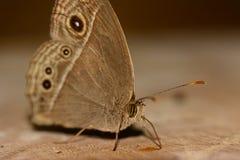 Πλάγια όψη της καφετιάς πεταλούδας (perseus Mycalesis) που στέκεται και Στοκ Φωτογραφίες