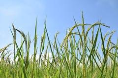 Πλάγια όψη τομέων ρυζιού με το μπλε ουρανό Στοκ Φωτογραφίες