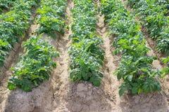 Πλάγια όψη των σειρών και furrows φυτειών πατατών Στοκ φωτογραφία με δικαίωμα ελεύθερης χρήσης