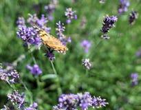 Πλάγια όψη χρωματισμένος την κυρία Butterfly Στοκ Φωτογραφίες