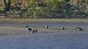 Πλήθος των τροφίμων αναζήτησης κοράκων στην παραλία όχθεων ποταμού απόθεμα βίντεο