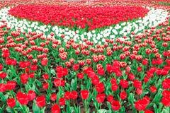 πλήρεις τουλίπες άνθιση&sig Στοκ Φωτογραφίες