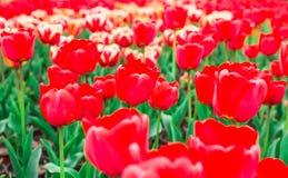 πλήρεις τουλίπες άνθιση&sig Στοκ εικόνα με δικαίωμα ελεύθερης χρήσης