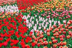 πλήρεις τουλίπες άνθιση&sig Στοκ φωτογραφία με δικαίωμα ελεύθερης χρήσης
