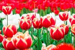 πλήρεις τουλίπες άνθιση&sig Στοκ Εικόνες
