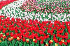 πλήρεις τουλίπες άνθιση&sig Στοκ Εικόνα