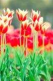πλήρεις τουλίπες άνθιση&sig Στοκ εικόνες με δικαίωμα ελεύθερης χρήσης