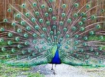 Peacock στο πλήρες λοφίο Στοκ Εικόνες