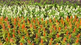 πλήρες λουλούδι Angelonia χρώματος Στοκ φωτογραφία με δικαίωμα ελεύθερης χρήσης