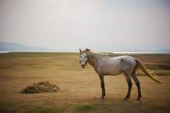 Πλήρες σώμα του άσπρου αλόγου που στέκεται στο ανοικτό λιβάδι στοκ εικόνες με δικαίωμα ελεύθερης χρήσης