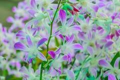 Πλήρης άνθιση λουλουδιών ορχιδεών Στοκ Εικόνες