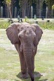 Πλήρης μετωπικός ελεφάντων στοκ εικόνες με δικαίωμα ελεύθερης χρήσης