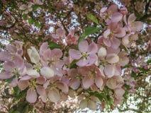Πλήρως ανθίζοντας δέντρο μηλιάς καβουριών Στοκ εικόνες με δικαίωμα ελεύθερης χρήσης
