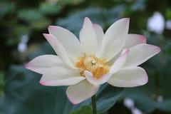 Πλήρως ανθισμένο λουλούδι Lotus Στοκ Εικόνες