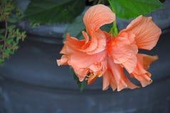 Πλήρως ανοιγμένη διπλή Hibiscus άνθιση στο χρώμα σολομών στοκ εικόνες