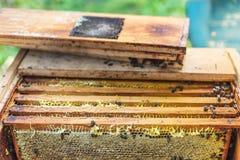 Πλαίσια κεριών με το μέλι στην κυψέλη, διαδικασία το μέλι Στοκ εικόνες με δικαίωμα ελεύθερης χρήσης