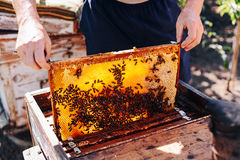 Πλαίσια μιας κυψέλης μελισσών Μέλι συγκομιδής μελισσοκόμων Ο καπνιστής μελισσών Στοκ εικόνα με δικαίωμα ελεύθερης χρήσης