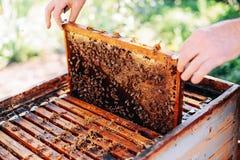 Πλαίσια μιας κυψέλης μελισσών Μέλι συγκομιδής μελισσοκόμων Ο καπνιστής μελισσών Στοκ Εικόνες