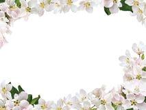 Πλαίσιο από τα λουλούδια ενός Apple-δέντρου Στοκ φωτογραφίες με δικαίωμα ελεύθερης χρήσης