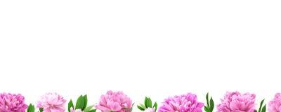 Πλαίσιο από το ρόδινο peony λουλούδι στο άσπρο υπόβαθρο με το διάστημα αντιγράφων Στοκ Εικόνες