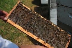 Πλαίσιο μελισσών που γεμίζουν με το μέλι Στοκ Εικόνες