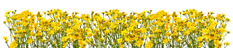 Πλαίσιο με τα κίτρινα senecios σε ένα άσπρο υπόβαθρο Στοκ Εικόνα