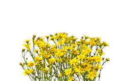 Πλαίσιο με τα κίτρινα senecios σε ένα άσπρο υπόβαθρο Στοκ εικόνες με δικαίωμα ελεύθερης χρήσης