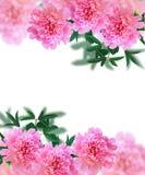 Πλαίσιο με τα peony λουλούδια σε ένα άσπρο υπόβαθρο Στοκ Εικόνα