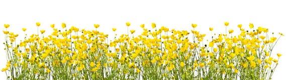Πλαίσιο με τις κίτρινες νεραγκούλες σε ένα άσπρο υπόβαθρο Στοκ Εικόνες