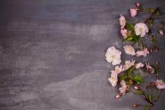 Πλαίσιο λουλουδιών στο γκρίζο shabby κομψό υπόβαθρο Άνθιση άνοιξης ρόδινη άνοιξη λουλουδιών Τοπ άποψη με το διάστημα αντιγράφων Στοκ φωτογραφία με δικαίωμα ελεύθερης χρήσης