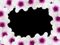 Πλαίσιο λουλουδιών aquatica Ipomoea στο μαύρο υπόβαθρο Στοκ Εικόνες