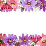 Πλαίσιο λουλουδιών kosmeya Wildflower σε ένα ύφος watercolor που απομονώνεται Στοκ εικόνες με δικαίωμα ελεύθερης χρήσης