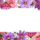 Πλαίσιο λουλουδιών kosmeya Wildflower σε ένα ύφος watercolor που απομονώνεται Στοκ φωτογραφία με δικαίωμα ελεύθερης χρήσης