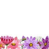 Πλαίσιο λουλουδιών kosmeya Wildflower σε ένα ύφος watercolor που απομονώνεται Στοκ εικόνα με δικαίωμα ελεύθερης χρήσης
