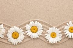 Πλαίσιο των άσπρων μαργαριτών στην κυματιστή άμμο Όμορφο foto Στοκ φωτογραφία με δικαίωμα ελεύθερης χρήσης