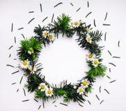 Πλαίσιο των πράσινων κλάδων έλατου και των chamomile λουλουδιών στο άσπρο υπόβαθρο Στοκ Εικόνες
