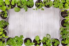 Πλαίσιο των πλαστικών φλυτζανιών με τα φυτικά σπορόφυτα με τη θέση FO Στοκ Εικόνες