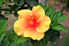 Πλαισιωμένα Hibiscus Στοκ Εικόνα