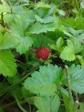 Πλαστή άγρια φράουλα στοκ φωτογραφίες