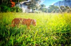Πλαστός περίπατος τιγρών στην πόλη στη χλόη Στοκ Εικόνες