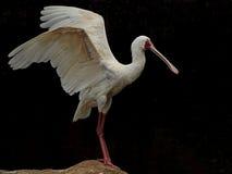 Πλαταλέα τα φτερά που διαδίδονται με Στοκ φωτογραφία με δικαίωμα ελεύθερης χρήσης