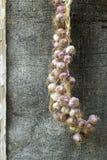 Πλεξίδα του σκόρδου στο αγροτικό υπόβαθρο Στοκ Εικόνες