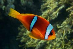 Πλευρά Ερυθρών Θαλασσών anemonefish Στοκ εικόνες με δικαίωμα ελεύθερης χρήσης