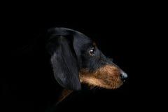 Πλευρά πορτρέτου στούντιο dachshund Στοκ Εικόνες