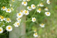 Πλευρά της Daisy του φράκτη Στοκ φωτογραφίες με δικαίωμα ελεύθερης χρήσης
