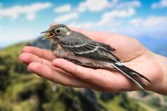 Πληγωμένο δέντρο πουλιών pipit στα χέρια Trivialis Anthus Καταπιείτε σπουργίτι πουλιών σε διαθεσιμότητα στο υπόβαθρο φύσης Στοκ Εικόνα